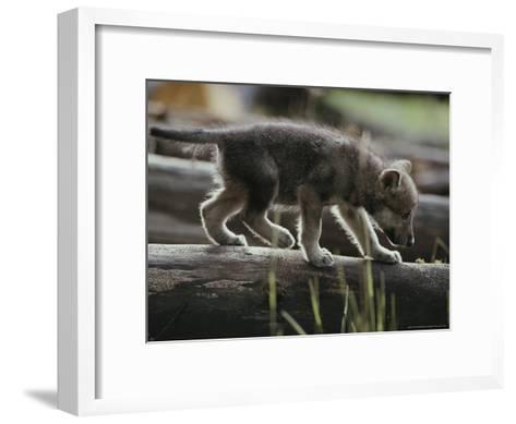 Six-Week-Old Gray Wolf Pup, Canis Lupus, Walks on a Fallen Log-Jim And Jamie Dutcher-Framed Art Print