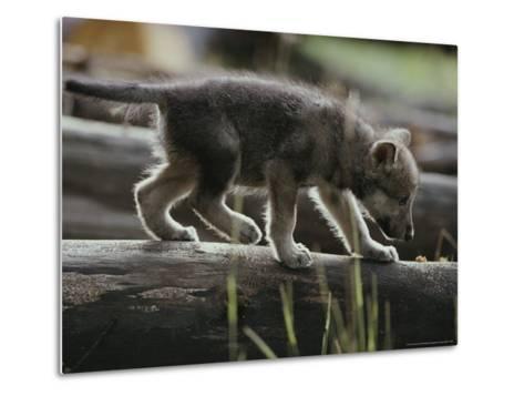 Six-Week-Old Gray Wolf Pup, Canis Lupus, Walks on a Fallen Log-Jim And Jamie Dutcher-Metal Print