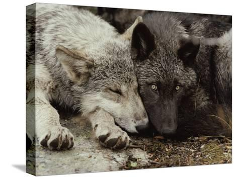 Twenty-Week-Old Gray Wolf Pups, Canis Lupus, Rest Together-Jim And Jamie Dutcher-Stretched Canvas Print