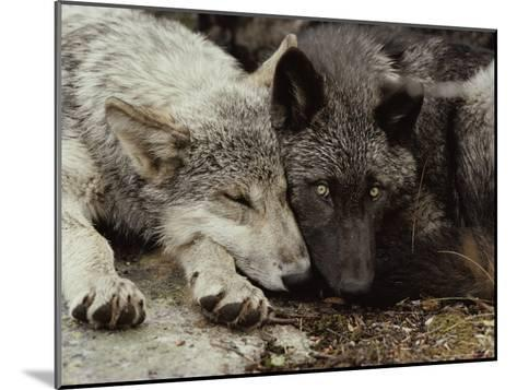 Twenty-Week-Old Gray Wolf Pups, Canis Lupus, Rest Together-Jim And Jamie Dutcher-Mounted Photographic Print
