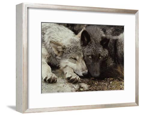 Twenty-Week-Old Gray Wolf Pups, Canis Lupus, Rest Together-Jim And Jamie Dutcher-Framed Art Print