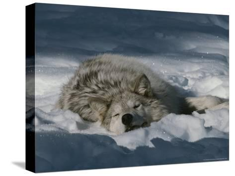 Gray Wolf, Canis Lupus, Takes a Nap in a Snowy Bed-Jim And Jamie Dutcher-Stretched Canvas Print