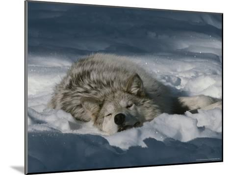 Gray Wolf, Canis Lupus, Takes a Nap in a Snowy Bed-Jim And Jamie Dutcher-Mounted Photographic Print