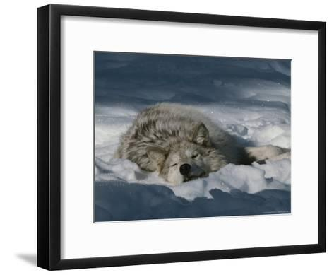 Gray Wolf, Canis Lupus, Takes a Nap in a Snowy Bed-Jim And Jamie Dutcher-Framed Art Print