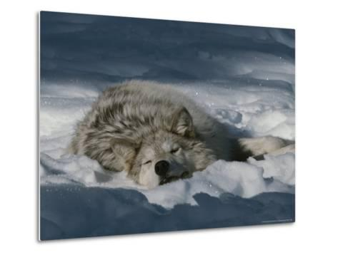 Gray Wolf, Canis Lupus, Takes a Nap in a Snowy Bed-Jim And Jamie Dutcher-Metal Print