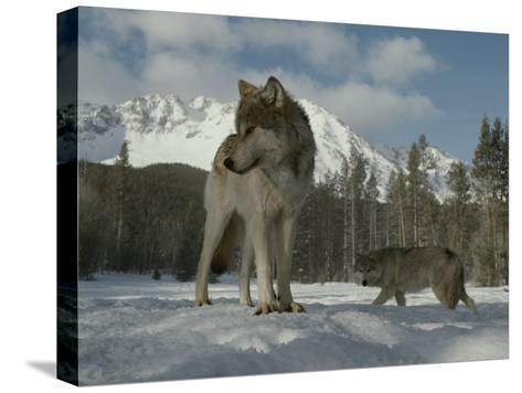 Gray Wolf, Canis Lupus, Stands in Snow as Another Circles Nearby-Jim And Jamie Dutcher-Stretched Canvas Print