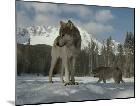 Gray Wolf, Canis Lupus, Stands in Snow as Another Circles Nearby-Jim And Jamie Dutcher-Mounted Photographic Print