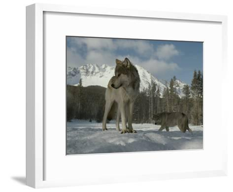 Gray Wolf, Canis Lupus, Stands in Snow as Another Circles Nearby-Jim And Jamie Dutcher-Framed Art Print