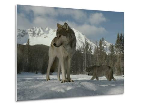 Gray Wolf, Canis Lupus, Stands in Snow as Another Circles Nearby-Jim And Jamie Dutcher-Metal Print