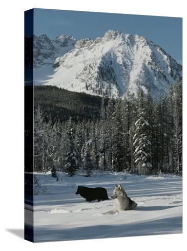 Couple of Gray Wolves, Canis Lupus, Enjoy a Snowy Mountain Meadow-Jim And Jamie Dutcher-Stretched Canvas Print