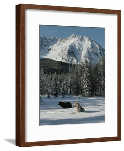 Couple of Gray Wolves, Canis Lupus, Enjoy a Snowy Mountain Meadow-Jim And Jamie Dutcher-Framed Art Print