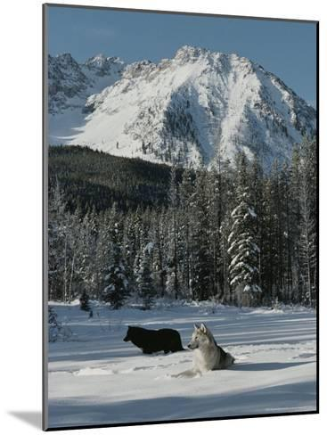Couple of Gray Wolves, Canis Lupus, Enjoy a Snowy Mountain Meadow-Jim And Jamie Dutcher-Mounted Photographic Print