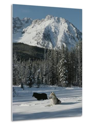 Couple of Gray Wolves, Canis Lupus, Enjoy a Snowy Mountain Meadow-Jim And Jamie Dutcher-Metal Print