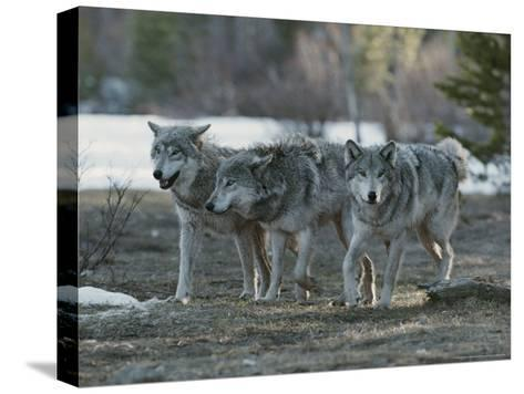 Trio of Gray Wolves, Canis Lupus, Stroll Their Territory-Jim And Jamie Dutcher-Stretched Canvas Print