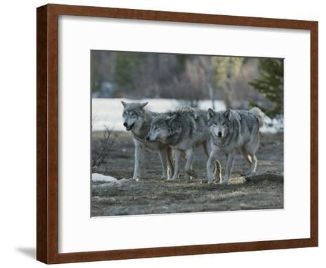 Trio of Gray Wolves, Canis Lupus, Stroll Their Territory-Jim And Jamie Dutcher-Framed Art Print