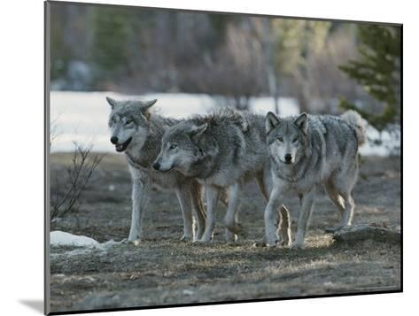 Trio of Gray Wolves, Canis Lupus, Stroll Their Territory-Jim And Jamie Dutcher-Mounted Photographic Print