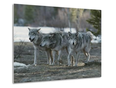 Trio of Gray Wolves, Canis Lupus, Stroll Their Territory-Jim And Jamie Dutcher-Metal Print
