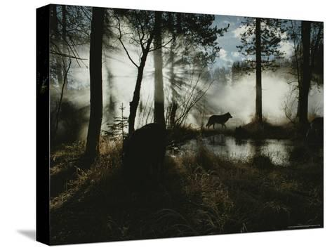 Gray Wolf, Canis Lupus, in Silhouette Passes By a Woodland Pond-Jim And Jamie Dutcher-Stretched Canvas Print