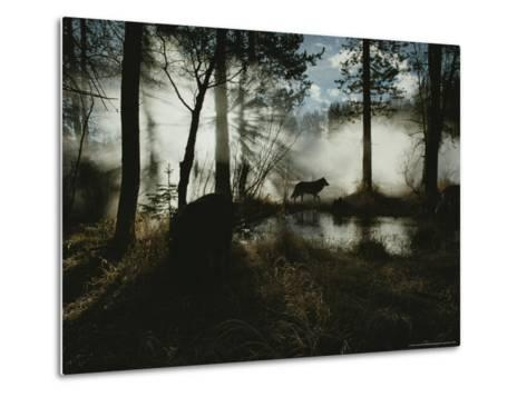 Gray Wolf, Canis Lupus, in Silhouette Passes By a Woodland Pond-Jim And Jamie Dutcher-Metal Print
