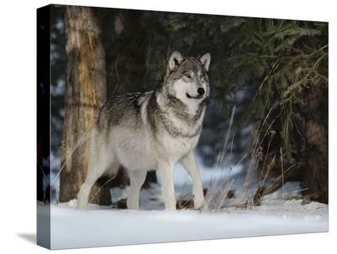 Portrait of an Alpha Male Gray Wolf, Canis Lupus, at Forest's Edge-Jim And Jamie Dutcher-Stretched Canvas Print