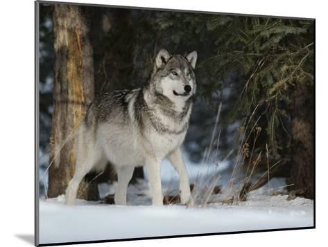 Portrait of an Alpha Male Gray Wolf, Canis Lupus, at Forest's Edge-Jim And Jamie Dutcher-Mounted Photographic Print