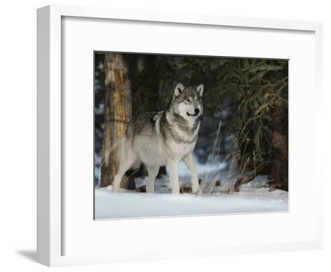 Portrait of an Alpha Male Gray Wolf, Canis Lupus, at Forest's Edge-Jim And Jamie Dutcher-Framed Art Print