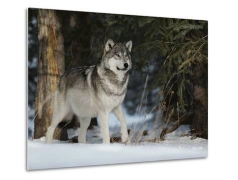 Portrait of an Alpha Male Gray Wolf, Canis Lupus, at Forest's Edge-Jim And Jamie Dutcher-Metal Print
