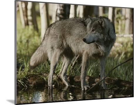 Gray Wolf, Canis Lupus, Stops at a Woodland Stream-Jim And Jamie Dutcher-Mounted Photographic Print