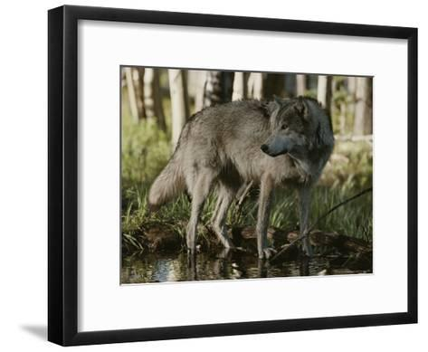 Gray Wolf, Canis Lupus, Stops at a Woodland Stream-Jim And Jamie Dutcher-Framed Art Print