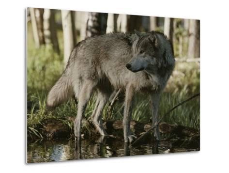 Gray Wolf, Canis Lupus, Stops at a Woodland Stream-Jim And Jamie Dutcher-Metal Print