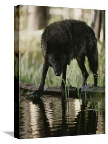 Gray Wolf, Canis Lupus, Stops at a Woodland Stream For a Drink-Jim And Jamie Dutcher-Stretched Canvas Print