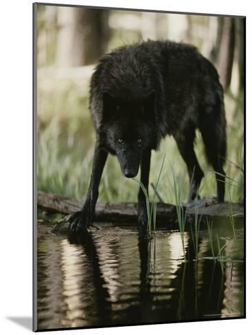 Gray Wolf, Canis Lupus, Stops at a Woodland Stream For a Drink-Jim And Jamie Dutcher-Mounted Photographic Print