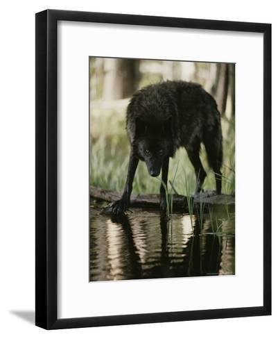 Gray Wolf, Canis Lupus, Stops at a Woodland Stream For a Drink-Jim And Jamie Dutcher-Framed Art Print