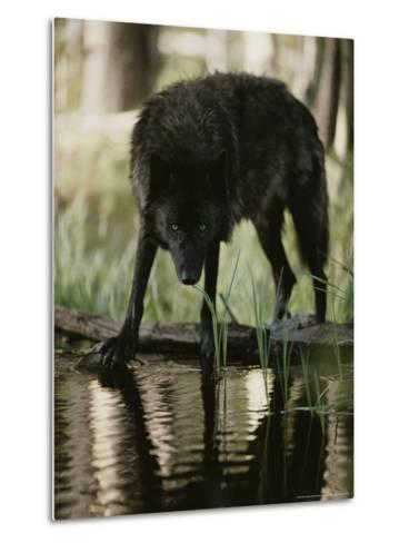 Gray Wolf, Canis Lupus, Stops at a Woodland Stream For a Drink-Jim And Jamie Dutcher-Metal Print