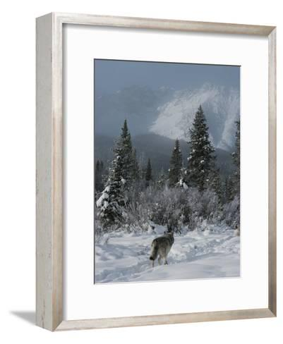 Gray Wolf, Canis Lupus, Passes Through a Snowy Mountain Landscape-Jim And Jamie Dutcher-Framed Art Print