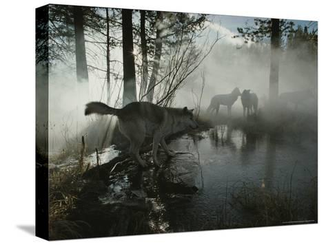 Group of Gray Wolves, Canis Lupus, Pass By a Foggy Pond in a Forest-Jim And Jamie Dutcher-Stretched Canvas Print