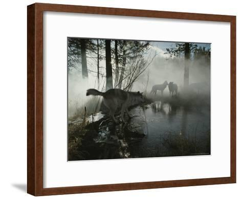 Group of Gray Wolves, Canis Lupus, Pass By a Foggy Pond in a Forest-Jim And Jamie Dutcher-Framed Art Print