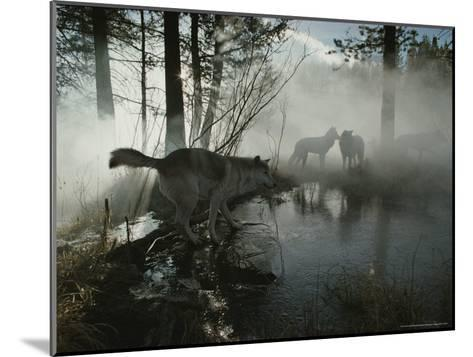 Group of Gray Wolves, Canis Lupus, Pass By a Foggy Pond in a Forest-Jim And Jamie Dutcher-Mounted Photographic Print