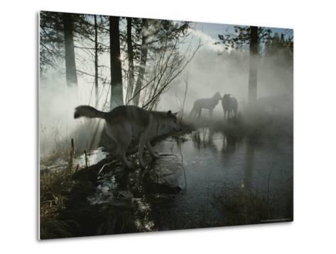 Group of Gray Wolves, Canis Lupus, Pass By a Foggy Pond in a Forest-Jim And Jamie Dutcher-Metal Print