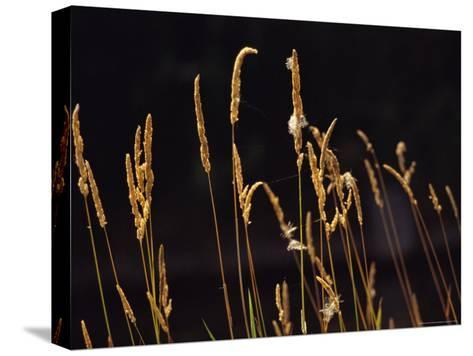 Warm Sunlight Highlights Tall Grasses-Raymond Gehman-Stretched Canvas Print