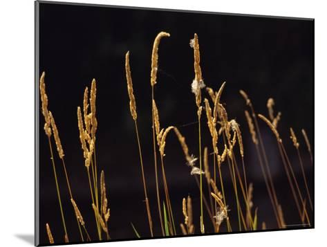 Warm Sunlight Highlights Tall Grasses-Raymond Gehman-Mounted Photographic Print