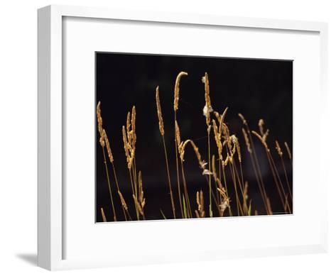 Warm Sunlight Highlights Tall Grasses-Raymond Gehman-Framed Art Print