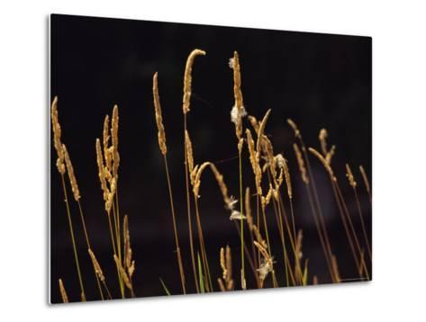 Warm Sunlight Highlights Tall Grasses-Raymond Gehman-Metal Print