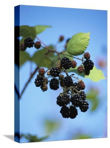 Cluster of Blackberries Ripen on a Vine-Raymond Gehman-Stretched Canvas Print
