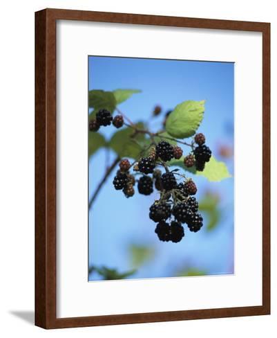 Cluster of Blackberries Ripen on a Vine-Raymond Gehman-Framed Art Print