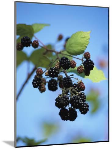 Cluster of Blackberries Ripen on a Vine-Raymond Gehman-Mounted Photographic Print