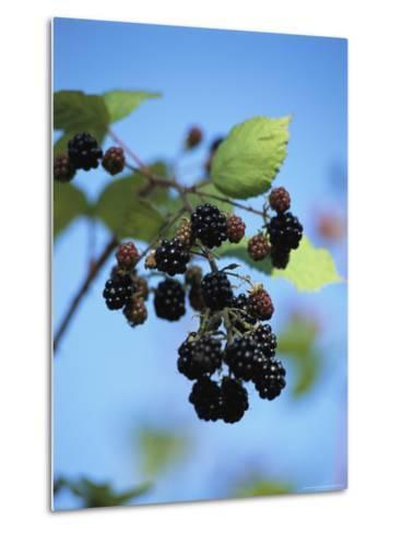 Cluster of Blackberries Ripen on a Vine-Raymond Gehman-Metal Print