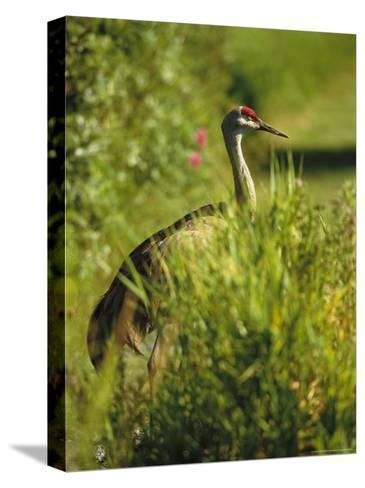 Sandhill Crane, Grus Canadensis, Stands Amid Tall Grasses-Raymond Gehman-Stretched Canvas Print