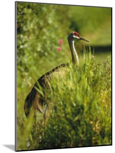 Sandhill Crane, Grus Canadensis, Stands Amid Tall Grasses-Raymond Gehman-Mounted Photographic Print