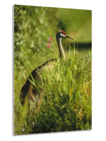 Sandhill Crane, Grus Canadensis, Stands Amid Tall Grasses-Raymond Gehman-Metal Print